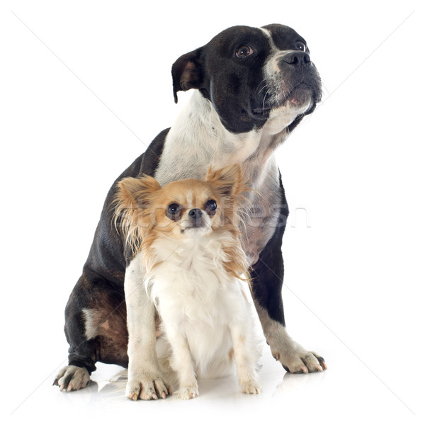 staffordshire bull terrier and chihuahua Stock photo © cynoclub