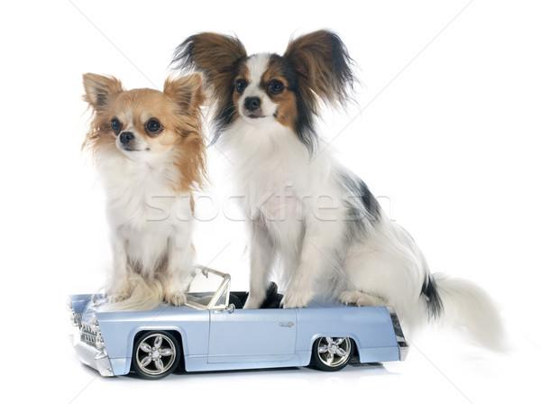 Fiatal autó kutyakölyök játszik díszállat fehér háttér Stock fotó © cynoclub
