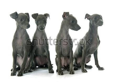 Filhotes de cachorro italiano galgo branco jovem estúdio Foto stock © cynoclub