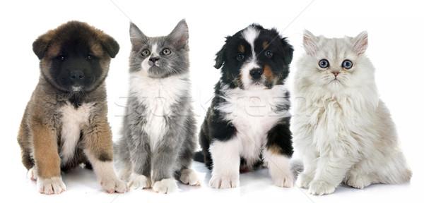 Foto stock: Filhotes · de · cachorro · gatinho · branco · cão · gato · grupo