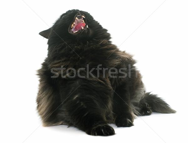 怒っ 黒猫 白 猫 黒 歯 ストックフォト © cynoclub
