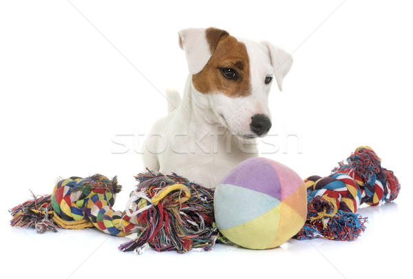 young jack russel terrier and toys Stock photo © cynoclub