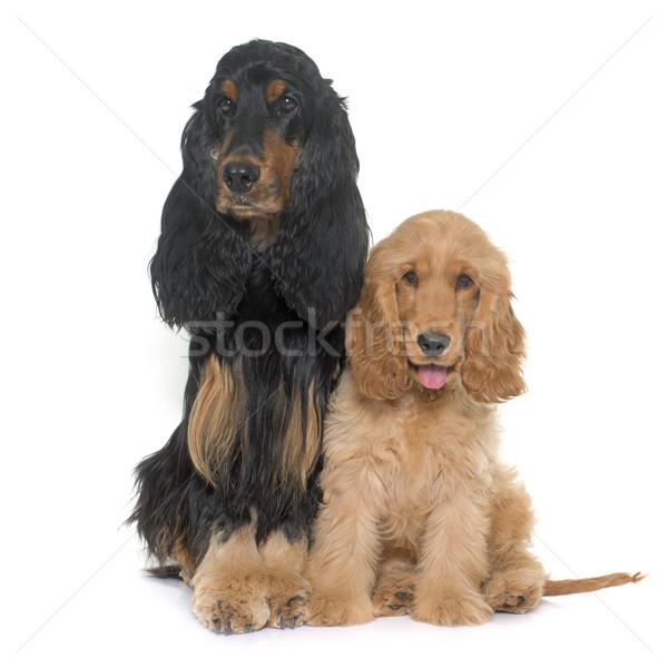 two cocker spaniels Stock photo © cynoclub
