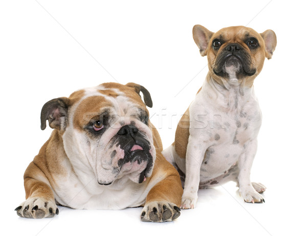 Inglés bulldog francés dos perro amigos Foto stock © cynoclub