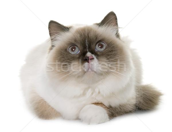 english longhair cat Stock photo © cynoclub