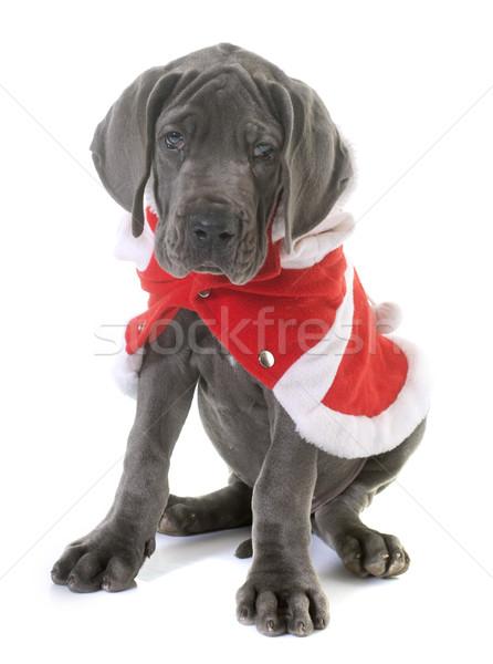 Stock photo: dressed puppy great dane