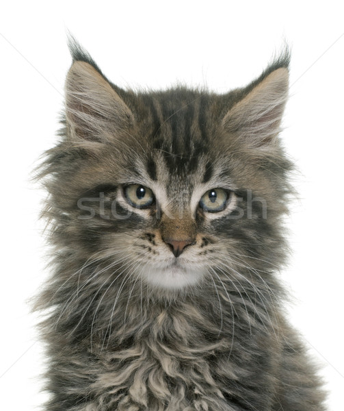 Stockfoto: Maine · kitten · witte · kat · portret