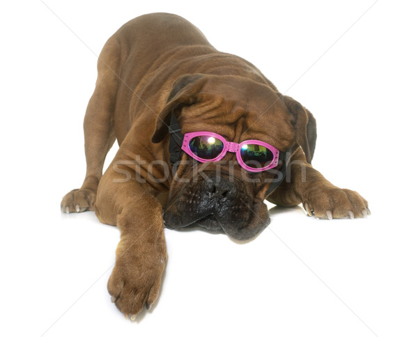 dogue de Bordeaux and glasses Stock photo © cynoclub