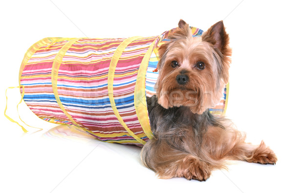 yorkshire terrier in agility Stock photo © cynoclub
