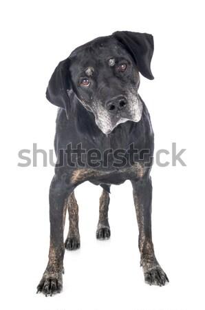 dutch shepherd barking Stock photo © cynoclub