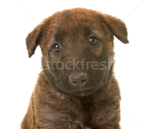 Kutyakölyök belga juhászkutya kutya portré állat stúdió Stock fotó © cynoclub