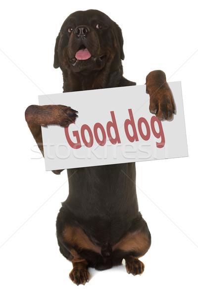 Rottweiler stałego w górę biały podpisania zabawy Zdjęcia stock © cynoclub
