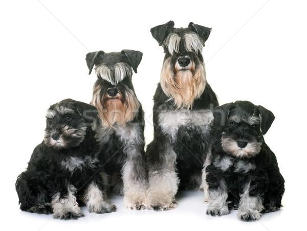 Miniatur Schnauzer Familie weiß Hund Tier Stock foto © cynoclub