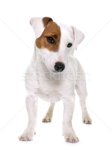 Stock photo: young jack russel terrier
