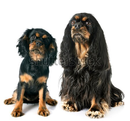 english cocker and rottweiler Stock photo © cynoclub