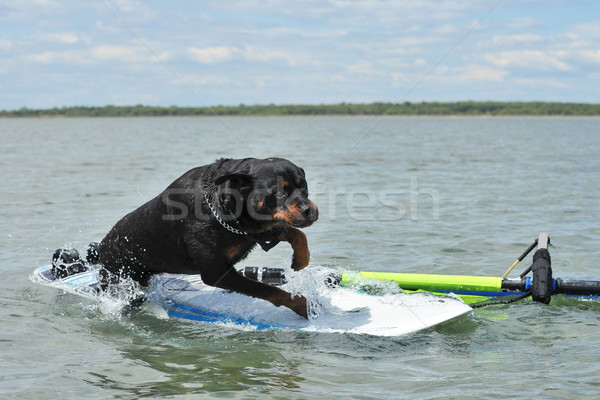 rottweiler and windsurf Stock photo © cynoclub