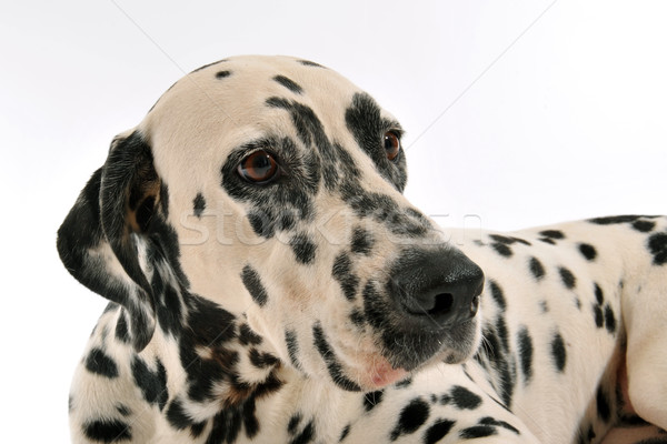 Dalmatian Stock photo © cynoclub