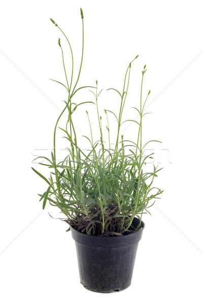 lavander in pot Stock photo © cynoclub