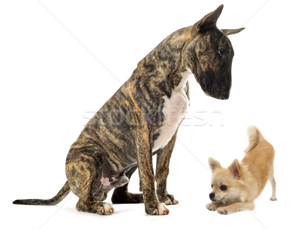 Touro terrier cachorro estúdio juntos sessão Foto stock © cynoclub