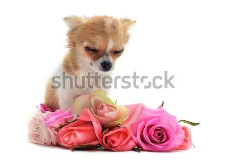 Poodle flores belo branco rosa Foto stock © cynoclub