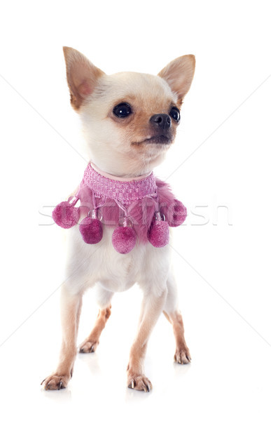 puppy chihuahua and pink collar Stock photo © cynoclub