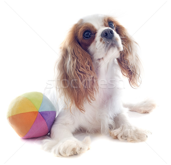 cavalier king charles and ball Stock photo © cynoclub