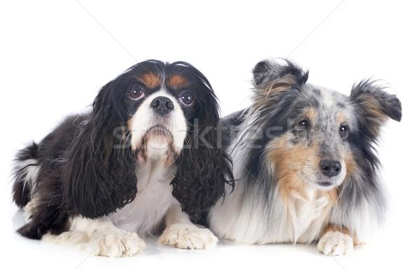 Stock photo: shetland dog and cavalier king charles