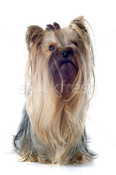 Foto stock: Yorkshire · terrier · retrato · branco