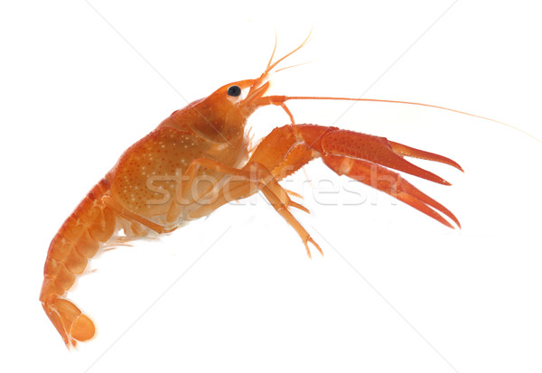 red crayfish Stock photo © cynoclub