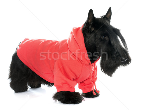 dressed scotish terrier Stock photo © cynoclub