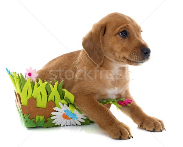 Cachorro labrador retriever cesta blanco animales estudio Foto stock © cynoclub