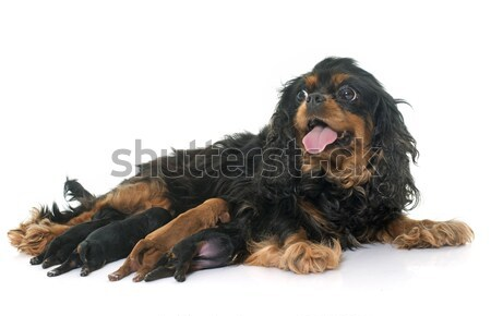 mother cavalier king charles and puppies Stock photo © cynoclub