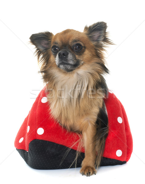 young little chihuahua in dog bed Stock photo © cynoclub