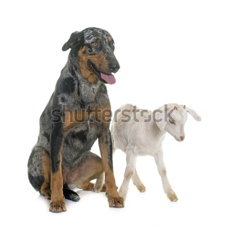 beauceron and kid Stock photo © cynoclub