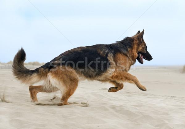 を実行して 羊飼い ビーチ 夏 犬 幸せ ストックフォト © cynoclub
