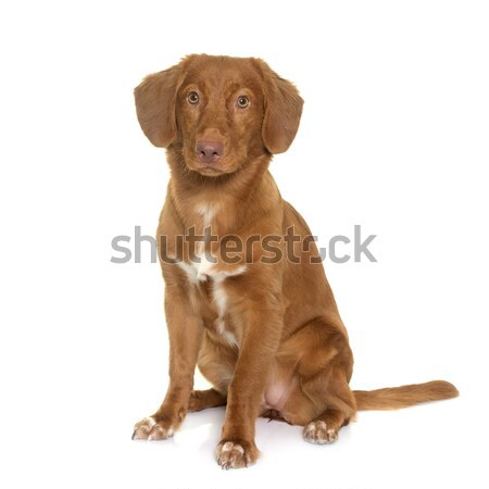 Foto stock: Pato · retriever · branco · animal · estúdio · cachorro