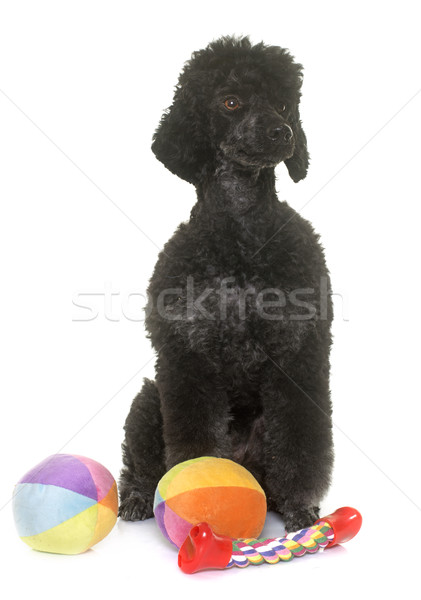 black poodle in studio Stock photo © cynoclub