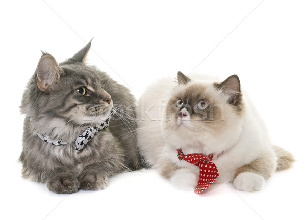 english longhair et maine coon cats Stock photo © cynoclub