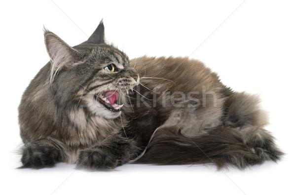 angry maine coon Stock photo © cynoclub
