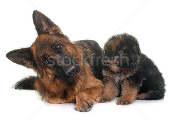 Stockfoto: Puppy · volwassen · herder · witte · moeder · dier