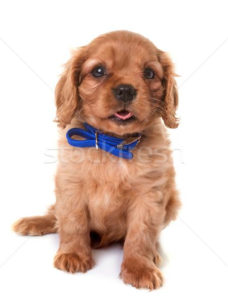 Köpek yavrusu kral köpek hayvan sevimli Stok fotoğraf © cynoclub