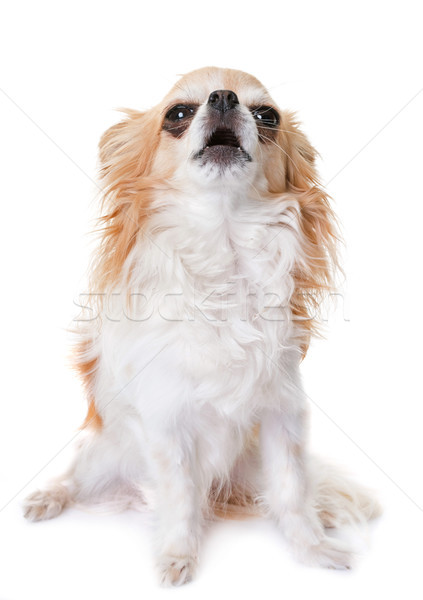chihuahua howling in studio Stock photo © cynoclub