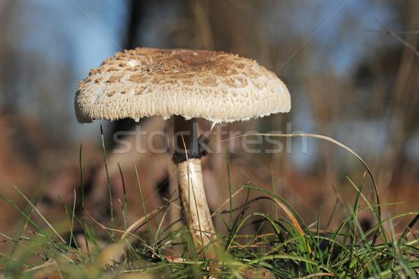 Macrolepiota procera or Parasol mushroom Stock photo © cynoclub