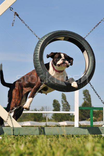 boxer in agility Stock photo © cynoclub