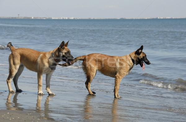 Stock fotó: Kettő · fiatal · tengerpart · kiskutyák · belga · juhászkutya · mediterrán