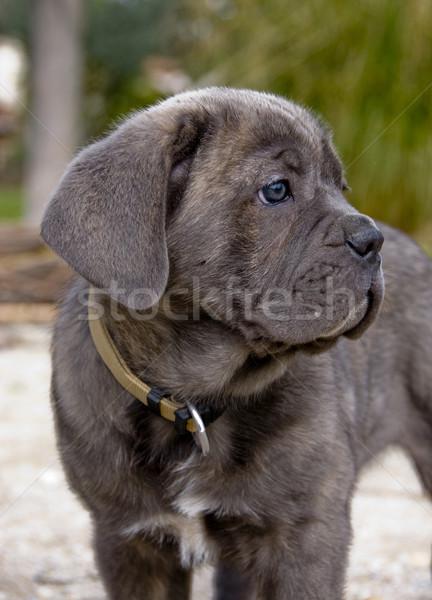 puppy italian mastiff Stock photo © cynoclub