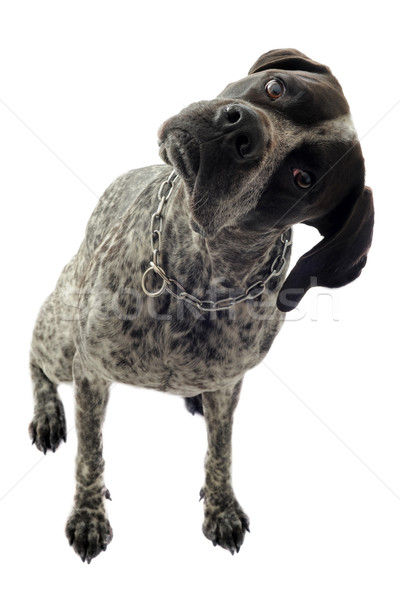 german shorthaired pointer Stock photo © cynoclub