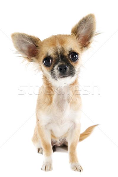 Kutyakölyök portré aranyos fajtiszta fiatal fehér Stock fotó © cynoclub