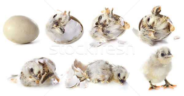 hatching Stock photo © cynoclub