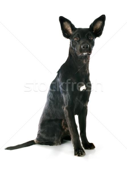 peruvian dog Stock photo © cynoclub